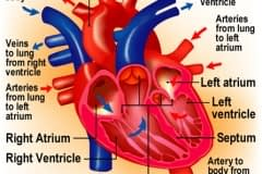 Heart_L